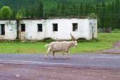 Понравившийся Юре козёл.