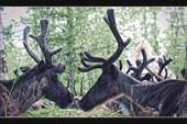 Северный олень эвенкийской породы
