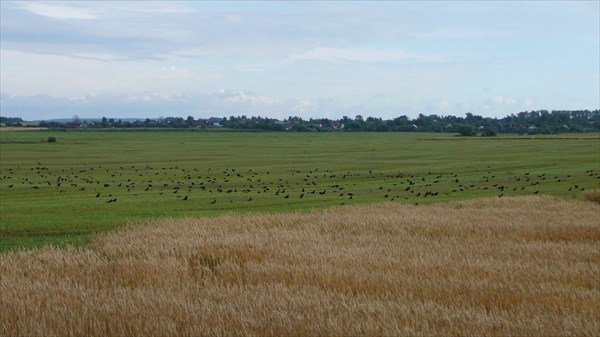 Птицы на поле (Галки?)