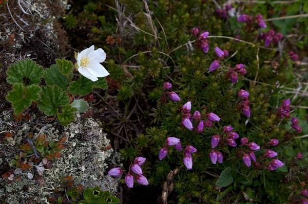 Цветы тундры 1