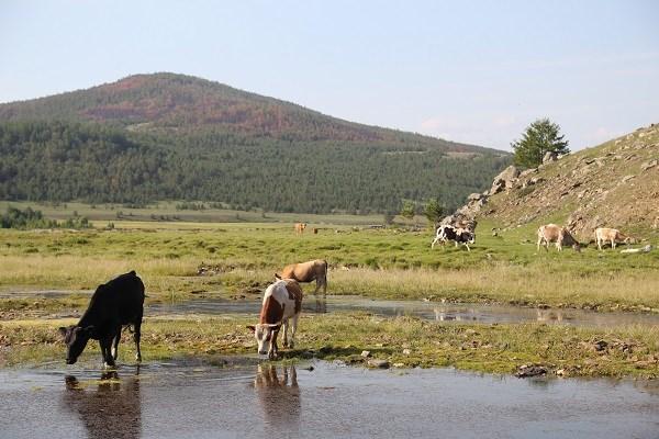 Онгуренские коровы