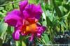на фото: Орхидея в ботаническому саду Санто-Доминго (Доминикана)
