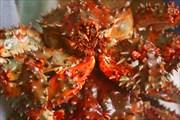 Крабья рожа