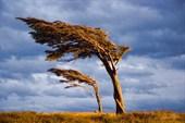 JEAL0532-Lenga-Bandera-in-Tierra-del-Fuego-Patagonia