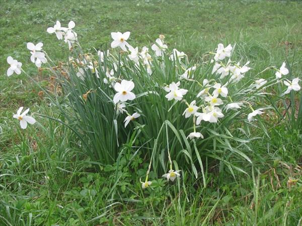 Нарциссы. В горах большая редкость
