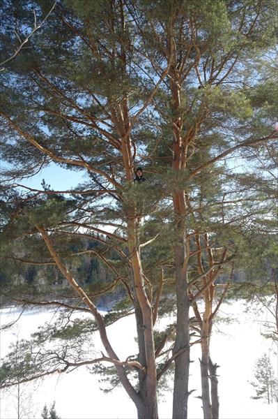 Шилин на дереве