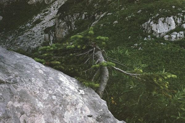 единственное дерево в окресностях лагеря