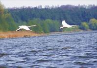Лебеди близко не подпустят