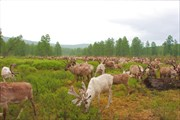 Северные олени в долине реки Алдан.