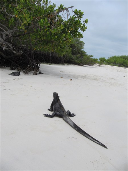 игуаны на пляже тортуга бей