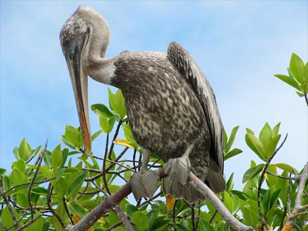 пеликан на нас смотрит