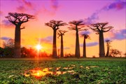 Baobab-trees