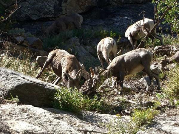 А,понятно.На высоте около 10 метров пасутся горные козлы.