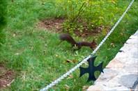 Белка-чернобурка прячущая орех