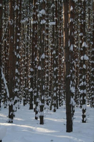 В сосновом лесу повышенной пятнистости