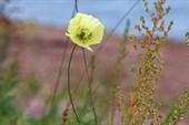 Последний цветочек полярного мака