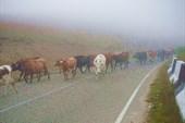 Коровки в тумане