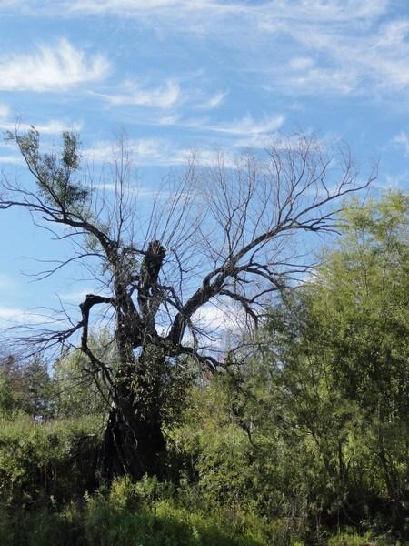 Дерево-человек.