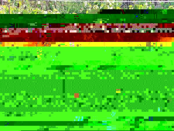 677-Виноград