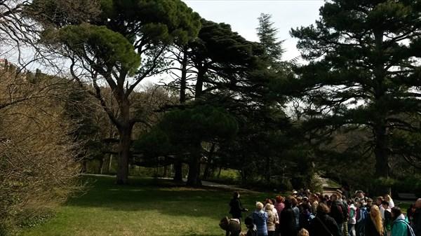 Столетние кедры в парке