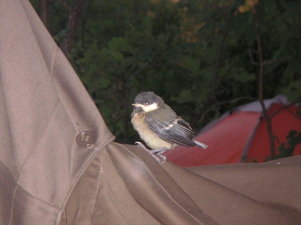 Птенец, только учится летать