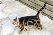 Турецкий котяра