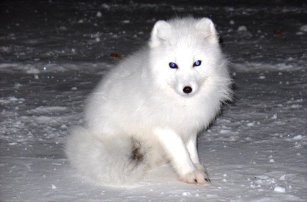 Нахальный снежный пес.
