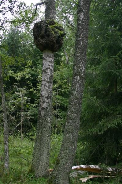 Нарост на дереве