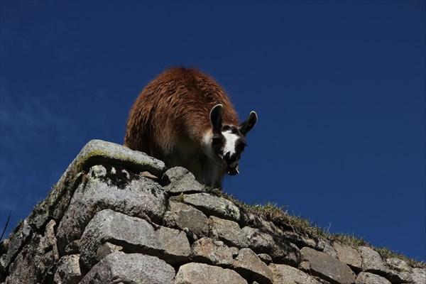Лама в Мачу-Пикчу