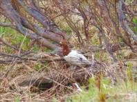 Полярная куропатка