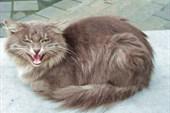 Тындинский разговорчивый кошак