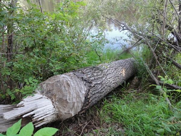 Бобры  срезают дерево как пилой.
