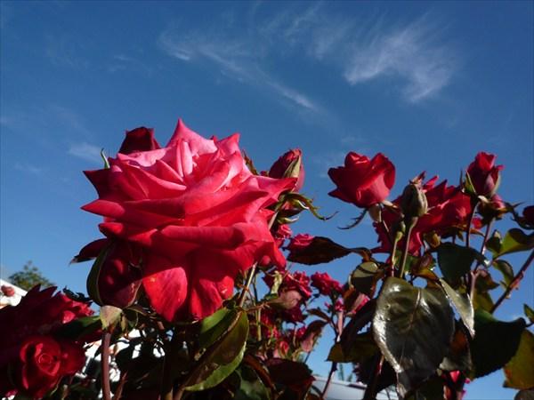 Розы в Кемпинге в Крастчерче