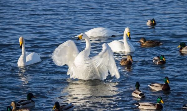 Озеро Светлое. п. Урожайный. Здесь зимуют лебеди и утки.