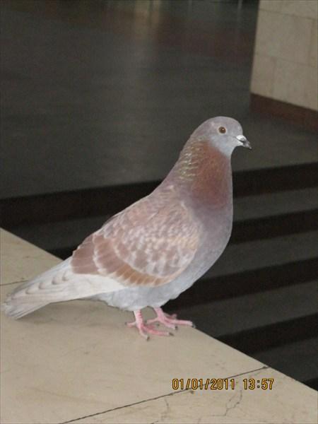 Голубь - птица наглая!