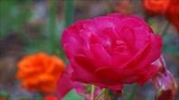 Красная роза-город Владивосток