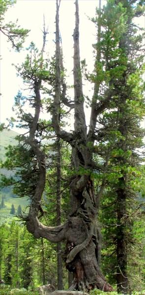 Дерево-арфа