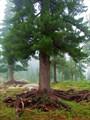 Дерево-осминог