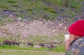 Домашние олени
