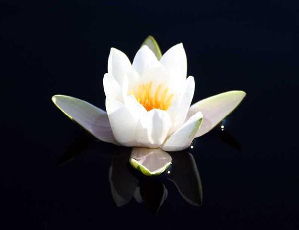 Фото. 83. Озерная флора: кувшинка белая