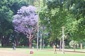 Жакаранда, фиалковое дерево