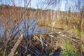 Бобровая плотина