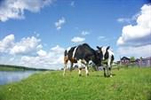 День 2: Чернутьево, коровы