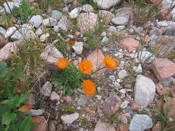 Мелколепестник оранжевый