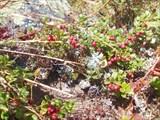 Брусника на вершине Яман тау