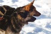 `Ведущие колеса` собачьей упряжки