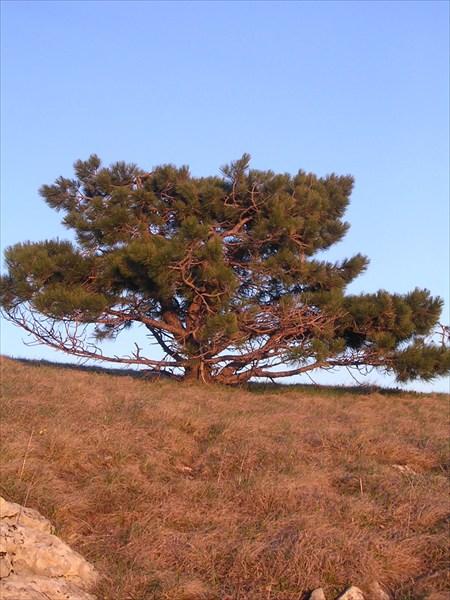 закатное дерево