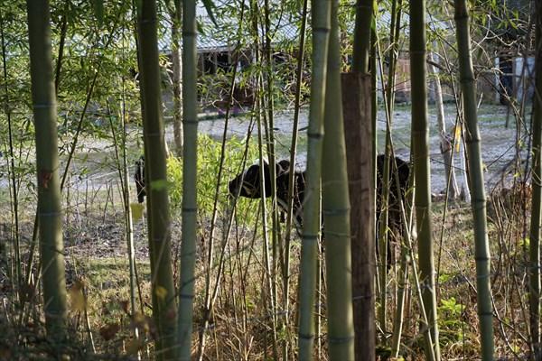 Бамбуковый зверь