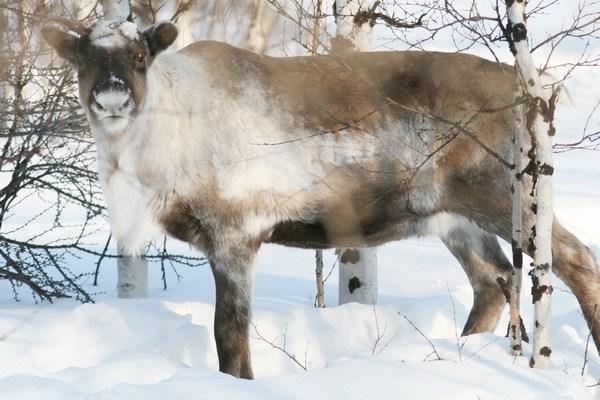 Вот какой ты - северный олень