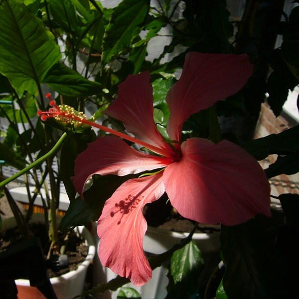 №46 - шпионский цветок однодневка
